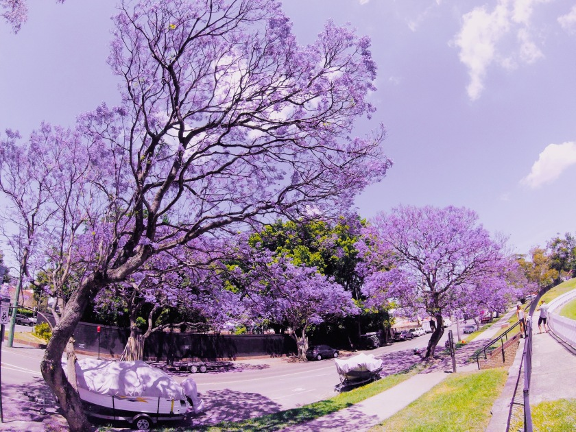 Jacaranda Trees Where To See Them In Sydney E Deliciou S